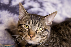 Kitty (Kayem Dubs) Tags: usa pet cute animal cat canon eos kitten feline pretty critter tabby adorable kitty gato precious shorthair katze lovely creature 1dmarkii ef28135isusm canon1dii