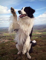 Paws For Thought... (meg price) Tags: friends paw collie border wave trick bordercollie barney soe abigfave theunforgettablepictures platinumheartaward goldstaraward