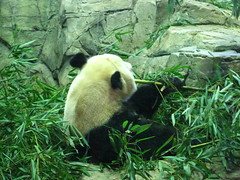 DC Zoo (Carrie Ellingson) Tags: panda dczoo