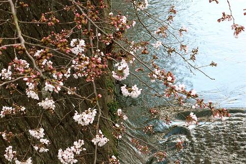 恩田川 - 咲き始め