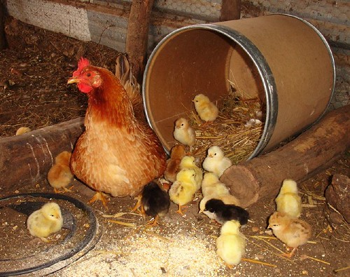 Hen with seventeen newly hatched chicks
