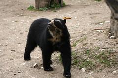 Orso (Alvise Dorigo) Tags: bear animal animals fauna canon mammal zoo italia natura safari verona canon350d mammals animali animale safaripark orso conservazione parconaturaviva mammifero bussolengo mammiferi estinzione parcofaunistico canonef70200mmf4lusmis orsogrigio