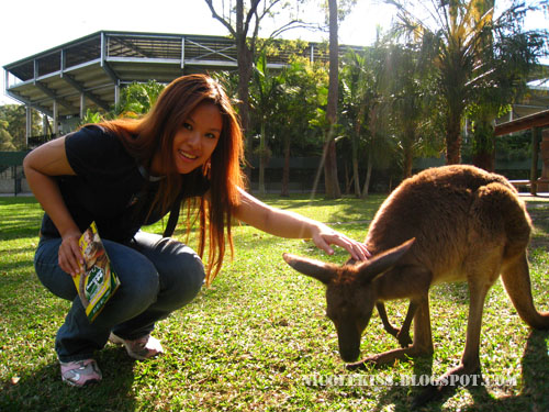 patting wallaby