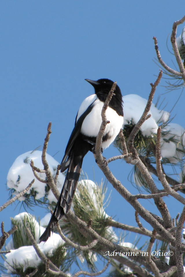 magpie photo by Adrienne in Ohio