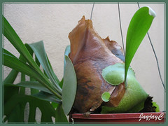 Babies of Platycerium bifurcatum (Staghorn Fern), shot March 28 2009