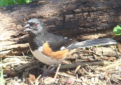 Towhee sticking his tongue out
