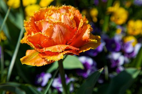 orange_fringe
