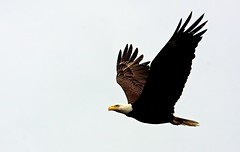 bald-eagle_RS (Robert Strickland) Tags: baldeagle birdsofprey birds move