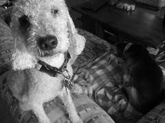 Babs: up close and personal (BeckaHeartsJellycat) Tags: new portrait blackandwhite dog beagle face nose blurry posing terrier dognose babs bashful whitedog olddog backround seniordog