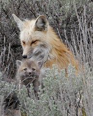Fox Vixen and Kit - Jackson, WY (Dave Stiles) Tags: fox redfox vulpesvulpes blackfox foxcub foxden jacksonwy foxkit foxpup