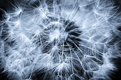 dandelion (taryntella2) Tags: bw macro duotone thumbsup youvsthebest magicofaworldinmacro awesomeblossoms youvsthebestflowers thepinnaclehof