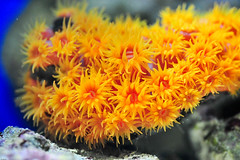 Orange Sun Coral (TomWorley) Tags: reef saltwater marinetank suncoral