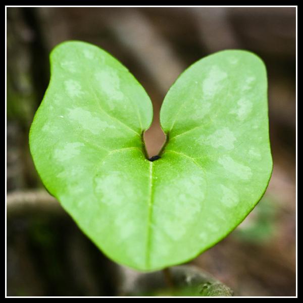 Heart Leaf.2