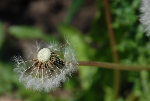 dandelion in portland