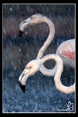 Flamingo's Shower (Najwa Marafie - Free Photographer) Tags: shower gear flamingos location finepix fujifilm kuwait 2008 2009 najwa chabd s5pro nonoq8 marafie