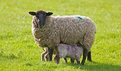 Milk Baa (mijoli) Tags: england aperture sheep cheshire farm macclesfield knutsford tattonpark 14x lightzone ef300mmf4lisusm impressedbeauty canon5dmarkii tattondale