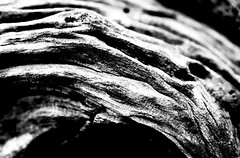 IMG_6917 (Christian Panofsky) Tags: life wood bw stilllife white black nature eos 350d wooden still key experimental earth mother experiment natura bn hi highkey albero tronco hikey olivo ulivo rughe ruga canoniani
