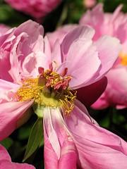 (Tölgyesi Kata) Tags: botanicalgarden budapest füvészkert withcanonpowershota620 bazsarózsa paeonia peony paeony pfingstrosen blossom fleur virág