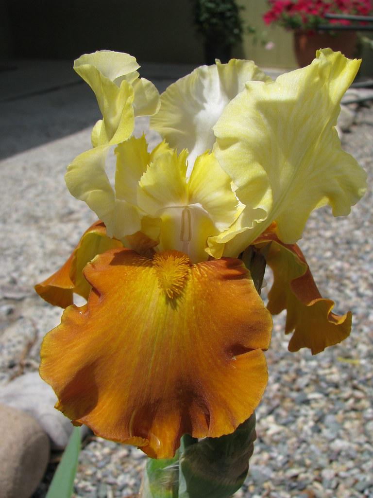 unkown iris