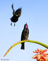 Black Sunbirds on Aloe barberae (Martin_Heigan) Tags: camera winter black flower tree bird nature digital southafrica flying succulent aloe nikon close martin zoom flight telephoto photograph flowering nectar d200 dslr sunbird pollination amethystina suidafrika sigma170500apo nikonstunninggallery heigan chalcomitra barberae wsnbg wh200 mhsetbirds mhsetaloes wimberleyheadversionii
