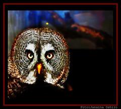 Owl... (♫ Photography Janaina Oshiro ♫) Tags: naturaleza nature japan digital natureza owl coruja blueribbonwinner parquedasaves abigfave nikond90