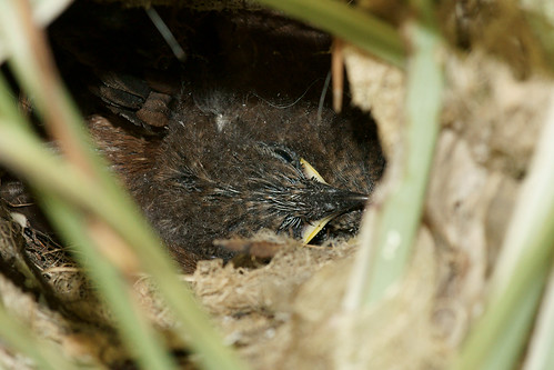 Baby Wrens - 1