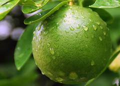 Grapefruit 0011 (Rae Sievers) Tags: friends florida grapefruit 1001nights soe photoshopelements blueribbonwinner otw flickrsbest