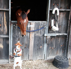 Which way to the track? (Dan:Brown) Tags: horse dog pet barn jackrussell