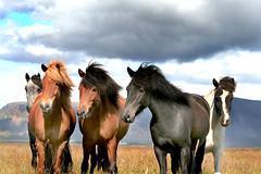Icelandic horses. (Explored) (Anna.Andres) Tags: friends horses horse 350d iceland explore canoneos350d sland hestar blueribbonwinner icelandichorses slenskihesturinn platinumphoto concordians winnerbc sailsevenseas
