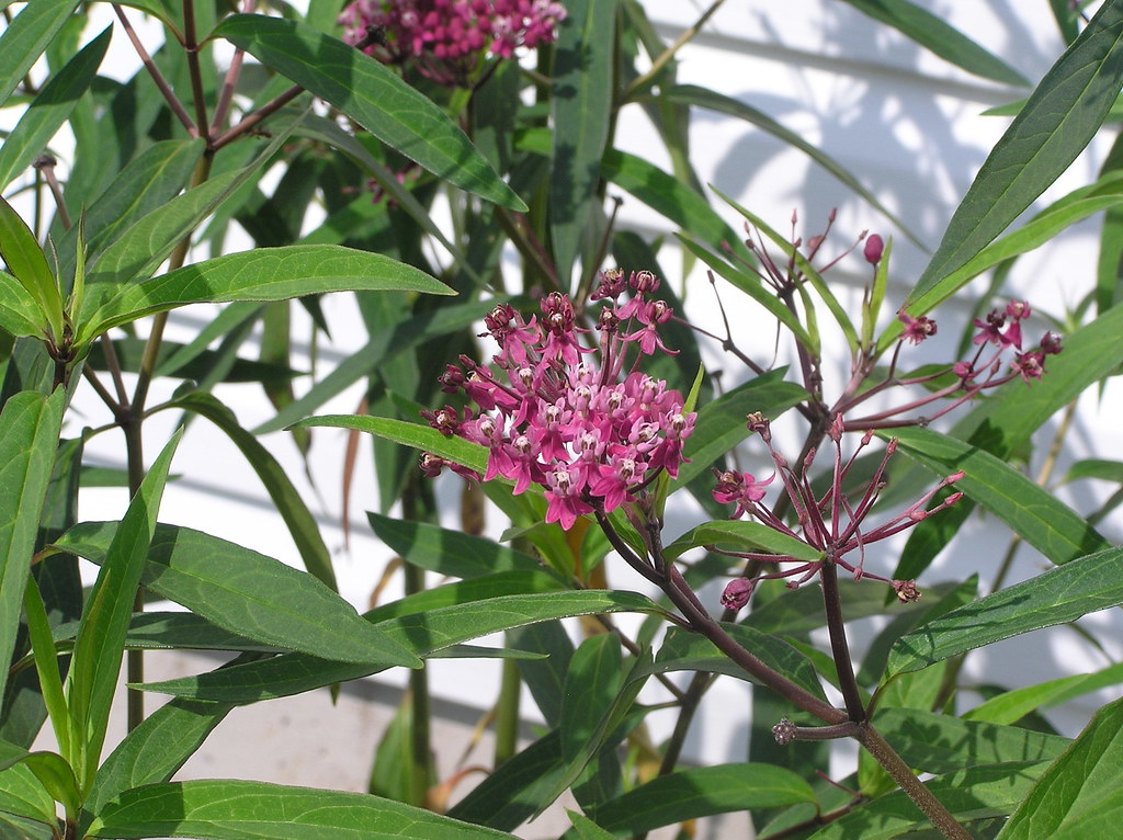 What is this tall perennial with pink flowers helpfulgardener what is this tall perennial with pink flowers mightylinksfo