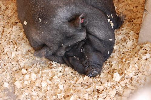 PigCUforPS
