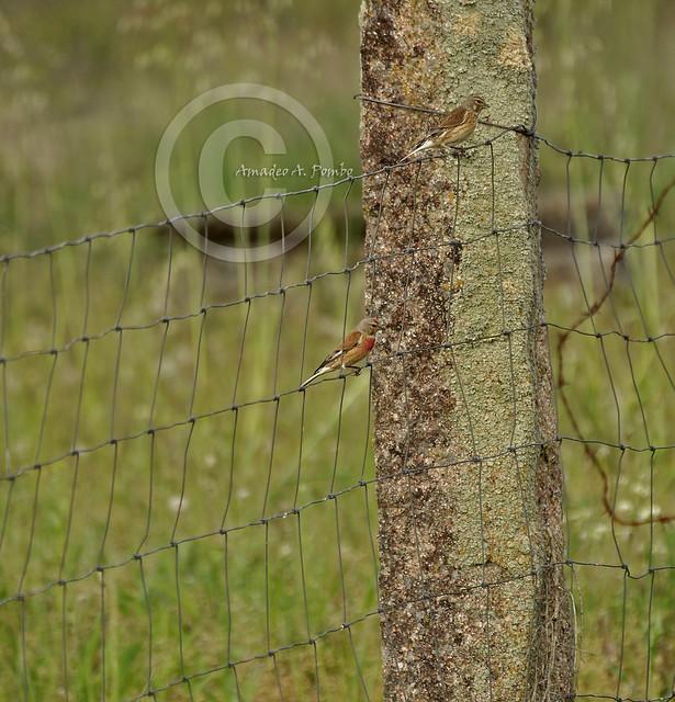 Carduelis cannabina (Pardillo Común)
