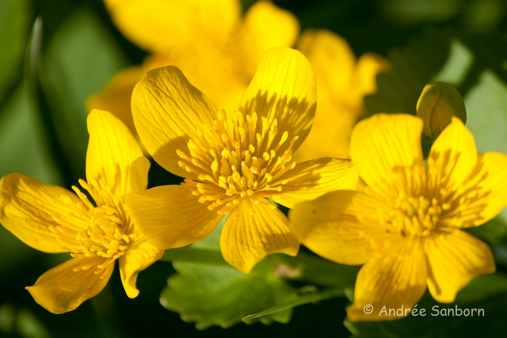 Cowslips (marsh marigold) (Caltha palustris)-14.jpg
