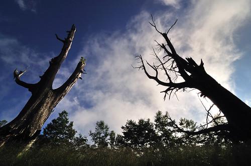 夫妻樹 背影