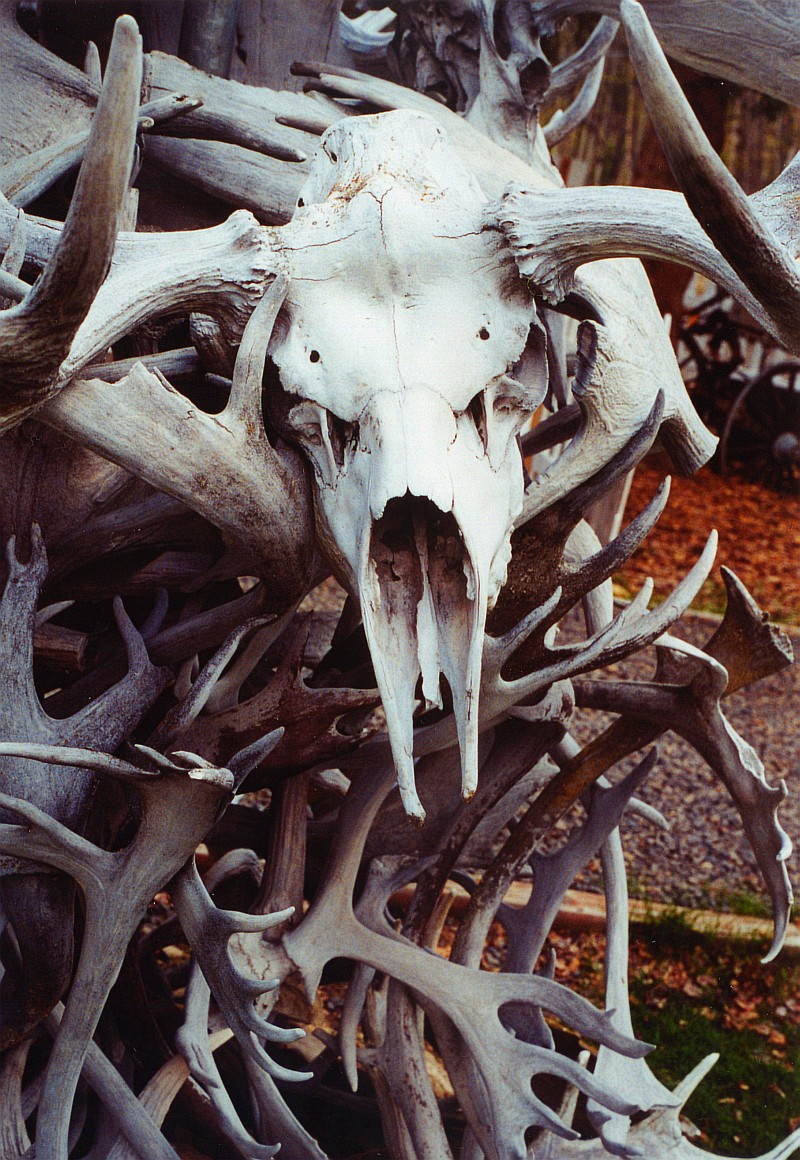 caribou-skull
