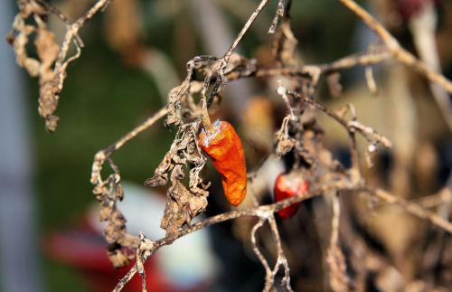 dead chilli plant 0812