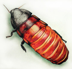 Madagascar Hissing Cockroach - Illustration (.CellarDoor Photography.) Tags: illustration bug insect photography artwork drawing olympus madagascar cockroach hissing pencilwork colouredpencil olympuse500 madagascarhissingcockroach flickrstream insectillustration insectdrawing gilliansimpson cellardoorphotography flickrphotograph bugillustration illustratedcockroach cockroachdrawing insectartwork cockroachartwork bugartwork cockroachillustration bugdrawing