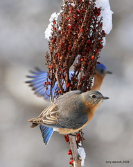 Eastern Bluebirds (Sialia Sialis) (tonyadcockphotos) Tags: snow bird birds berries sumac bluebird birdwatching avian birdwatcher easternbluebird sialiasialis canonef40056l sumacberries avianexcellence natureoutpost birdsonsumac birdseatingsumac