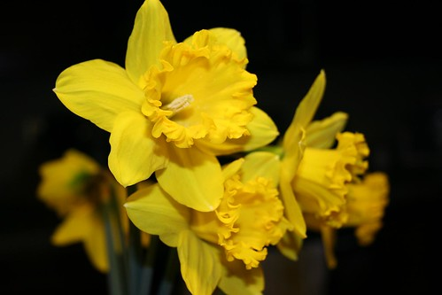 First Daffodils from the yard