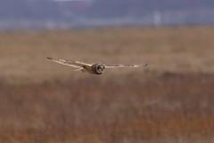 Short Eared Owl (baileysam18) Tags: river cheshire estuary short owl marsh dee wirral eared naturesfinest parkgate