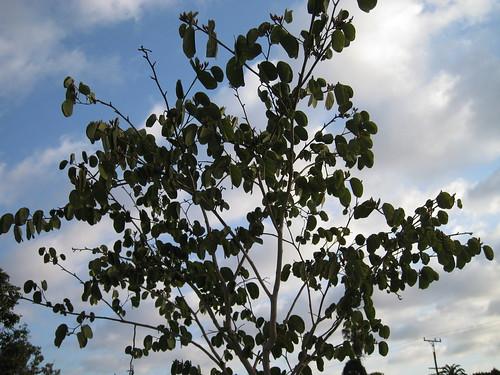 young orchid tree (B. variegata)
