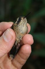 Speckled Hummingbird - Adelomyia melanogenys (Fabrice Schmitt) Tags: hummingbird speckled adelomyia melanogenys