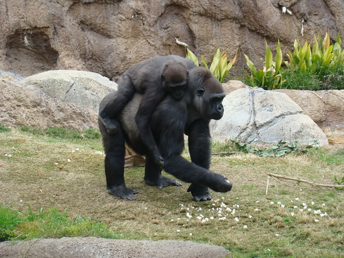 Western Lowland Gorillas at the Los Angeles Zoo