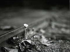 (david c (dead)) Tags: railroad blackandwhite bw flower leaves blackwhite fuji bokeh rail parade dandelion sacramento stpatricksday oldsac shallowdepthoffield 80mmf19 fujifilmneopan400 epsonperfection4490photo mamiyam6451000s m64519