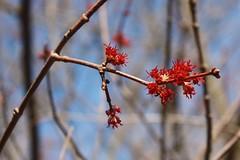 Red maple's reach (ellen  x silverberg) Tags: redmaple earlyspring