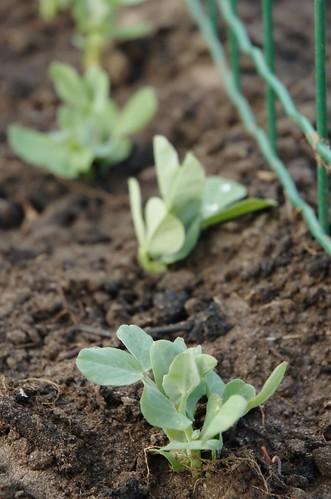 jonge erwtenplanten - young pea-plants