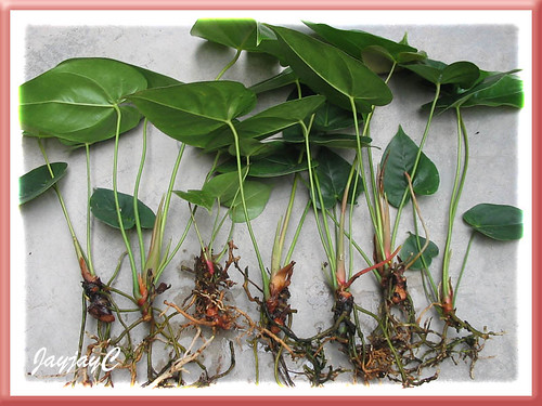 Step 4: A total of seven Anthurium plantlets were severed from 3 stems. Shot on March 18 2009