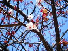 Plum Blossom (umbrellaofdoom) Tags: plumblossoms