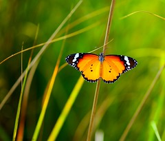 Wings of Fire (Kausthub) Tags: india macro green animals butterfly wildlife handheld dslr 2009 soe supershot photographyrocks efllens platinumphoto diamondclassphotographer theunforgettablepictures naturewatcher canoneos5dmarkii flickrslegend theperfectphotographer goldstaraward winnr rubyphotographer thecelebrationoflife