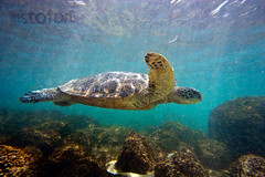 Glider ( KristoforG) Tags: ocean sea green water hawaii pacific turtle dive honu gellert kristofor